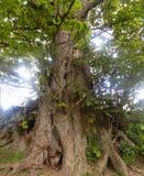 Stort träd i Crookham Northumerland, England UK Arkivfoton