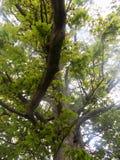 Stort träd i Crookham Northumerland, England UK Royaltyfri Fotografi
