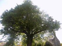 Stort träd i Crookham Northumerland, England UK Fotografering för Bildbyråer