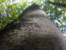 Stort träd i djungeln Royaltyfria Foton
