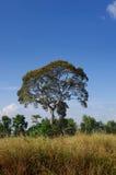 Stort träd i fältet Arkivbild