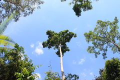 Stort träd i Kaowyai Korat Arkivbild