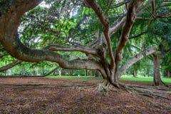 Stort träd i kungliga trädgårdar av Peradenia Fotografering för Bildbyråer