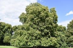 Stort träd i London Royaltyfri Fotografi