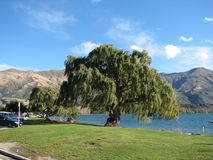 Stort träd i Nya Zeeland Royaltyfria Bilder