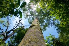 Stort träd i rainforest Arkivfoto