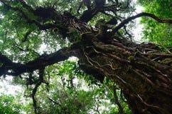 Stort träd i regnskog Arkivbild