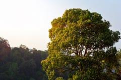 Stort träd i skog med berget Arkivfoto