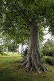 Stort träd i skogen Royaltyfria Foton