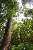 Stort träd i skogen på det Angkhang berget, chiangmai, Thailand Arkivfoton