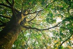 Stort träd i solen Arkivfoto