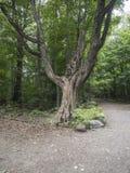 Stort träd i träna Arkivfoton
