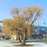 Stort träd i vinterfält Arkivbild