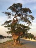 Stort träd och solnedgång Fotografering för Bildbyråer