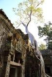 Stort träd på Angkor Wat Arkivfoto