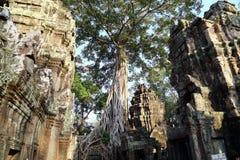 Stort träd på Angkor Wat Royaltyfri Fotografi