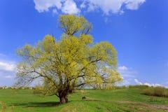 Stort träd på en grön äng Royaltyfri Fotografi