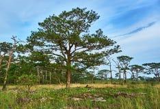 Stort träd på gräsfältet Arkivfoton