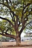 Stort träd på JFK-lönnmordet Dallas TX Royaltyfri Fotografi