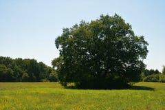 Stort träd på mitten av ängen fotografering för bildbyråer
