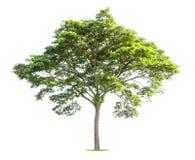 Stort träd på vit royaltyfri bild