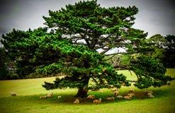 Stort träd som ger skugga till en flock av sheeps Arkivbilder