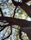 Stort träd som ser upp royaltyfri bild