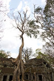 Stort träd som växer på Ta Phrom Royaltyfria Bilder