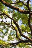 Stort träd underifrån Royaltyfria Bilder