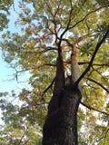 Stort träd upp i himlen Arkivfoto