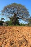 Stort träd utan bladet Royaltyfri Bild