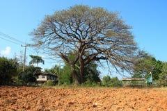 Stort träd utan bladet Arkivbilder