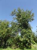 Stort trädgårds- äppleträd Arkivbilder