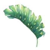 Stort tropiskt grönt blad av den Monstera växten Arkivbilder