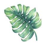 Stort tropiskt grönt blad av den Monstera växten Royaltyfri Foto