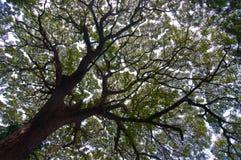 Stort tropiskt träd Royaltyfri Bild