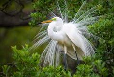 Stort vitt ägretthägerdjurliv som bygga bo på råkkolonin för Florida naturfågel arkivfoton