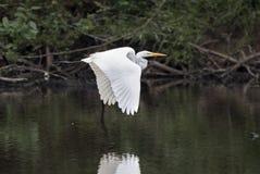 Stort vitt stort flyg för ägretthägerhägerfågel arkivbilder