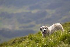 Stort vitt fullvuxet klyftigt anseende för herdehund på brant grön gräs- berglutning på solig sommardag på kopieringsutrymmebakgr royaltyfri fotografi