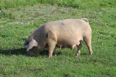 Stort vitt svin arkivfoto