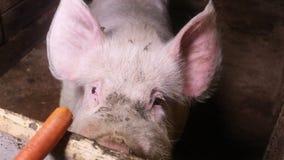 Stort vitt svin som äter en morot stock video
