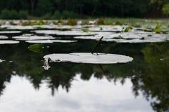 Stort waterlily blad Arkivfoto