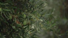 Stortbui en natte olijfboom stock videobeelden