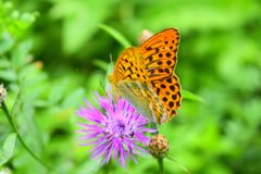 A story about a butterfly and a flower. The most beautiful big shiny butterflies that all colors of the rainbow shimmer and Shine in the sun. Painted in royalty free stock photography