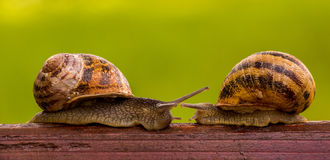 Fight snails. Competition. Royalty Free Stock Images