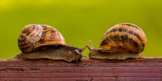 Snails LOVE story. Kiss. Snails LOVE story.The story of two snails. Meeting. Touch. Attraction. Passion. Kiss Stock Images