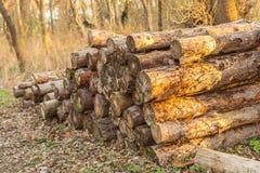 Stos drewno w lesie przy zmierzchem Obrazy Royalty Free