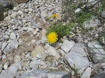 Stos kamienie, życie w kamieniu, kwiaty w kamieniach, Dandelion wśród kamieni, kolor żółty kwitnie, życie jest wszędzie Zdjęcie Royalty Free