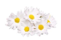 Stos odizolowywający na białym tle chamomile kwiat Zdjęcia Stock