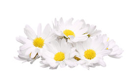 Stos odizolowywający na białym tle chamomile kwiat Zdjęcia Royalty Free